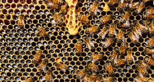 Treatment of Breast Cancer with Bee Venom